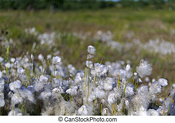cotton grass in the swamp.