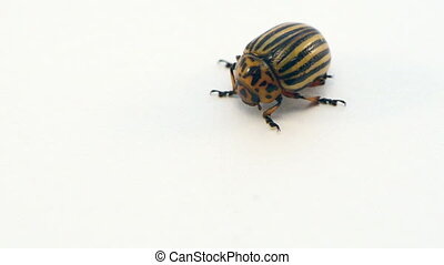 colorado potato beetle - closeup of colorado potato beetle...