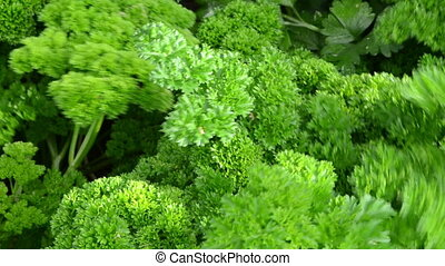 curly parsley closeup - curly parsley natural spice closeup...