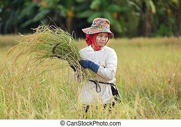 Woman harvesting rice - Burmese woman harvesting rice in...