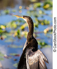 Anhinga bird drying its feathers in Everglades