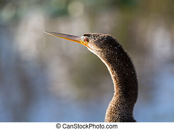 Close up of Anhinga bird in Everglades