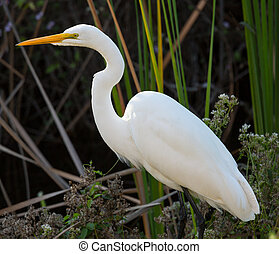 Great white egret in Florida everglades park - Profile side...