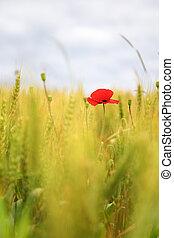 Poppy in the wheatfield