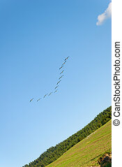 Landing Canadian Geese - A flock of Canadian Geese going in...