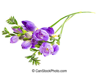 The branch of freesia with flowers, buds