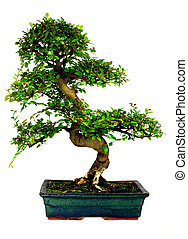Bonsai Tree - Chinese Elm bonsai tree Isolated on white
