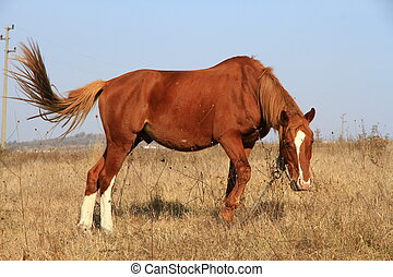 A brown horse - the brown horse is grazed on a meadow