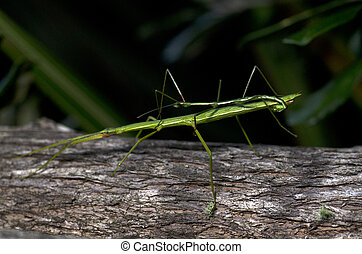 Stick Insect (Clitarchus hookeri) - A male and female stick...