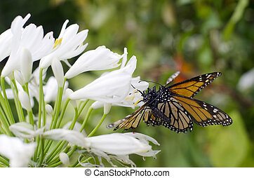 Monarch butterfly mating