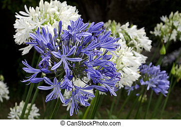 Agapanthus midnight blue flower blossom during spring...
