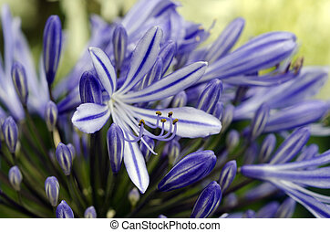 Agapanthus, medianoche, azul, flor