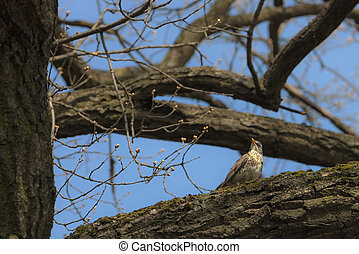 snowbird on the branch of a tree with spring buds