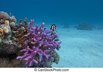 coral reef with violet hood coral end exotic fish on the...