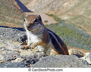 Meercat, 攀登, 向上, 岩石
