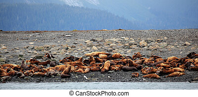 stellar sealions in Auke Bay , Alaska