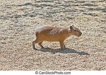 Capibara - A lonely capibara standing in the sun