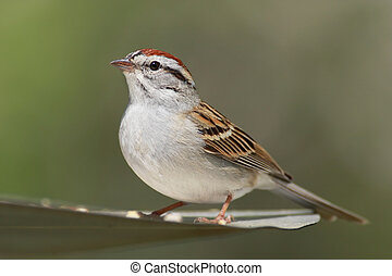 Chipping Sparrow Spizella passerina with a green background...