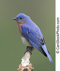 Male Eastern Bluebird Sialia sialis on a stump