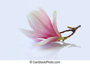 Pink Magnolia - Single fresh pink magnolia flower reflected...