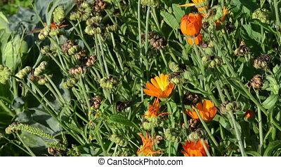 marigold calendula walk - walk near orange marigold...