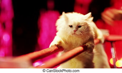 Cats in the circus - Two white cats are making stunts in the...
