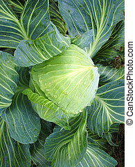 Big head of green cabbage