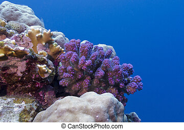 coral reef with violet hard coral in red sea