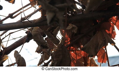Dry vine leafs swing - withered dry vine leafs swing on the...