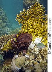 coral, arrecife, fuego, coral, mar, esponja, fondo, rojo,...