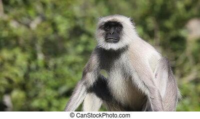 Gray langur. - Sitting gray langur.