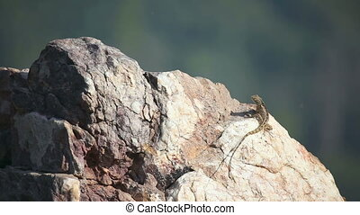 Sunbathing - Lizard sunbathing on a rock