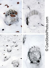 bear tracks in snow - collection of brown bear ursus arctos...