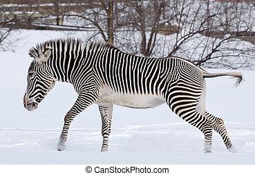 Zebra in the snow
