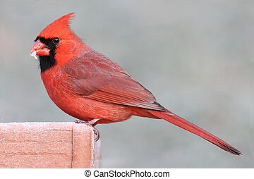 Cardinal On A Feeder - Male Northern Cardinal (cardinalis...