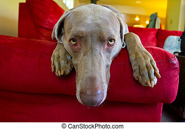 Weimaraner Dog - A beautiful grey weimaraner dog is relaxing...
