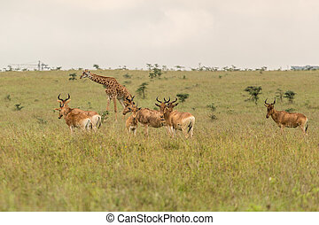 A giraffe grazing with impalas - A giraffe family roaming...