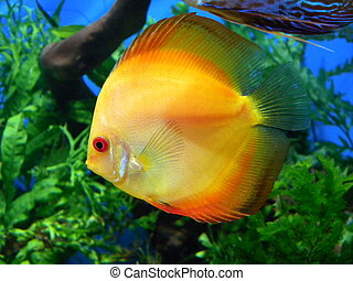 Yellow discus