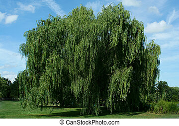 Weeping willow tree with blue sky