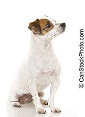dog (Ratonero)