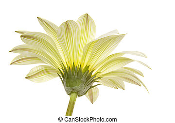 marguerite - beautiful isolated marguerite