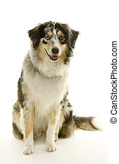 australian shepherd - beautiful isolated australian shepherd
