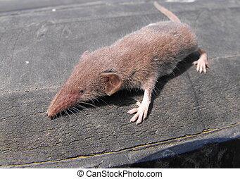 European shrew - A little European shrew