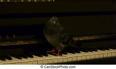 Pigeon plays the piano - Pigeon bird plays the piano staying...