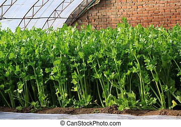 celery in a greenhouse, close up of pictures, North China.