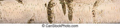 Birch Bark Background enlighted with morning sun