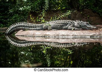 鱷魚, 在之間, 陸地, 水