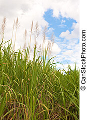Mature Sugar Cane - Mature sugar cane with its flor de cana...