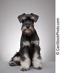 five month old miniature schnauzer puppy