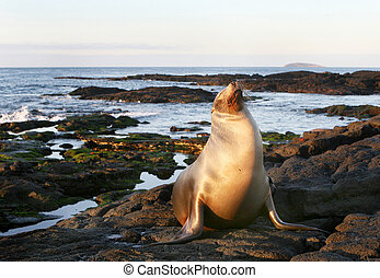 Sea Lion on the Shore - A Sea Lion rests on the rocky...